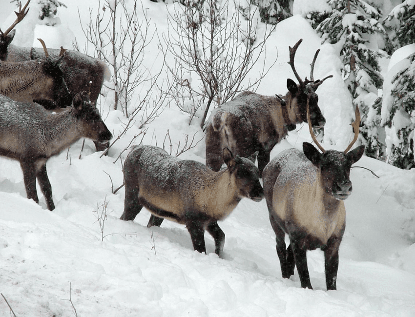 Last Caribou Relocated to Canada